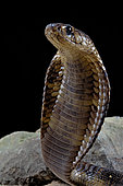 Cobra égyptien (Naja haje) dressé