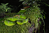 Celebes temple Pitviper (Tropidolaemus subannulatus), Amurang, North Sulawesi. Indonesia