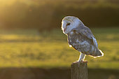 Barn owl (Tyto alba) perchjed on a post at sunset, England