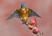Kingfisher (Alcedo atthis) Female perched amongst crabapple, Autumn, England
