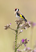 Goldfinch (Carduelis carduelis) perched on thisle, England