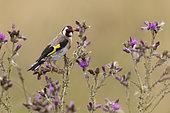 Goldfinch (Carduelis carduelis) amongst thisle, England