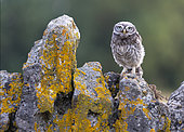 Little owl (Athena noctua) perched on a wall, England