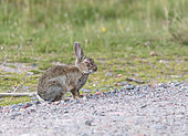 Rabbit (Oryctolagus cuniculus) with myxomatosis, Scotland