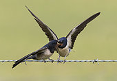 Barn Swallow (Hirundo rustica) feeding a young perched on a barbed wire, England