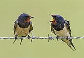 Barn Swallow (Hirundo rustica) displaying to each other, England