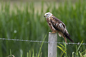 Red kite (Milvus milvus) perched on a post in the rain, England