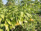 Brugmansia aurea 'Grand Marnier'