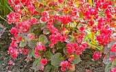 Begonia semperflorens ' Red'