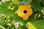 Thunbergia alata 'Suzie Orange with Black Eye'