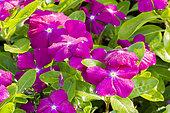 Catharanthus roseus 'Vitesse Raspberry'