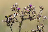 Goldfinch (Carduelis carduelis) perched on a thisle, England