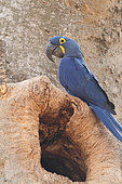 Hyacinth Macaw (Anodorhynchus hyacinthinus) near its nest in a large tree, South Brazil