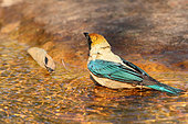 Burnished-buff Tanager (Tangara cayana) male bathing in a spring, South Brazil