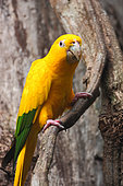 Golden parakeet (Guaruba guarouba) on a branch, Brazil