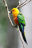 Jandaya Parakeet (Aratinga jandaya) on a branch, Brazil