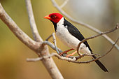 Yellow-billed Cardinal (Paroaria capitata) male on a branch, South brazil