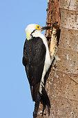 White Woodpecker (Melanerpes candidus) near his hole, South Brazil