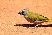 Buff-throated Saltator (Saltator maximus) on ground eating seeds, South Brazil