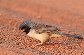Black-throated Saltator (Saltator atricollis) on the ground looking for seeds on a trail, South Brazil