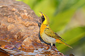 Guira Tanager (Hemithraupis guira) male drinking at a spring, South Brazil