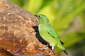 Swallow Tanager (Tersina viridis) female coming to drink at a spring, South Brazil