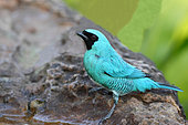 Swallow Tanager (Tersina viridis) male coming to drink at a spring, South Brazil