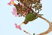 Yellow-chevroned Parakeet (Brotogeris chiriri) in a big tree eating the nectar of flowers, South Brazil