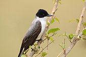 Fork-tailed Flycatcher (Tyrannus savana) on a branch on the lookout for insects, South Brazil