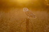 Barn owl (Tyto alba) perched on a post at sunset, England