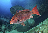 Northern red snapper, Lutjanus campechanus. Adult, old animal, on ship wreck. It's a prized food fish, caught commercially, as well as recreationally. Lives in waters from 10 to 60 m deep, sometimes almost 100 m. They stay r close to the bottom, and inhabit rocky bottoms, ledges, ridges, and artificial reefs, including offshore oil rigs and shipwrecks. Juvenile fish have a dark spot on their sides below the dorsal fin soft rays. Caribbean sea. Composite image