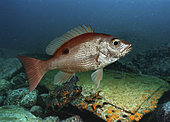 Northern red snapper, Lutjanus campechanus. Young animal, close to ship wreck. It's a prized food fish, caught commercially, as well as recreationally. Lives in waters from 10 to 60 m deep, sometimes almost 100 m. They stay r close to the bottom, and inhabit rocky bottoms, ledges, ridges, and artificial reefs, including offshore oil rigs and shipwrecks. Juvenile fish have a dark spot on their sides below the dorsal fin soft rays. Caribbean sea. Composite image
