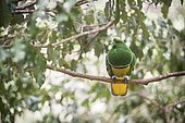 Cloven-feathered Dove (Drepanoptila holosericea) on a branch, endemic species, New caledonia