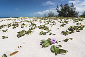 Beach Morning Glory (Ipomoea pes-caprae), Ténia Islet Marine Reserve, West Lagoon. New Caledonia.