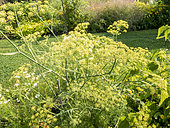 Foeniculum vulgare 'Smokey'