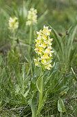 Elder-flowered Orchid (Dactylorhiza sambucina), Alps, France