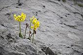 Auricula (Primula auricula) in a lapiaz, Sixt-Fer à Cheval Nature Reserve, Alps, France