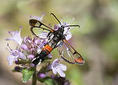 Red-tipped clearwing (Synanthedon formicaeformis) on Wild thyme (Thymus serpyllum), Sixt-Fer à Cheval Nature Reserve, Alps, France