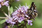 Pygmy moth (Thyris fenestrella) on Oregano (Origanum vulgare), Regional Natural Park of Northern Vosges, Alsace, France