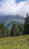 Reed orchid (Dactylorhiza majalis) bog, Gets, Alps, France