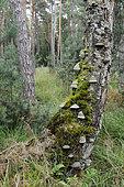 Hengsberg forest, ONF reserve, Northern Vosges Regional Nature Park, Alsace, France