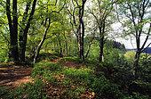 Holderkop forest, ONF reserve, Northern Vosges Regional Nature Park, Alsace, France