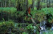 Lisenthal forest, ONF reserve, Northern Vosges Regional Nature Park, Alsace, France