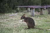 Tasmanian pademelon (Thylogale billardierii) eating bread, Narawntapu National Park, Tasmania