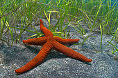 Starfish (Echinaster sepositus) in phanerogams. Flore, underwater backgrounds of the Canary Islands, Tenerife.