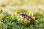 European Common Frog (Rana temporaria), Alsace, France