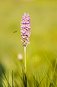 Spotted Orchis(Dactylorhiza maculata) and hoverfly (syrphus sp), Alsace, France