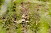 Common toad (Bufo bufo), Alsace, France