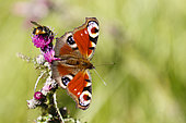 Camberwell Beauty (Aglais io , inachis io) on Marsh Thistle (Cirsium palustre), Alsace, France