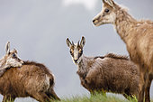 Chamois (Rupicapra rupicapra) female and young of the year doing their toilet on the meadow of Hohneck in spring, Alsace, France